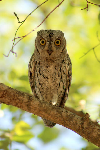 African Scops Owl, Otus senegalensis perched in a tree, Kruger National Park, South Africa stock photo
