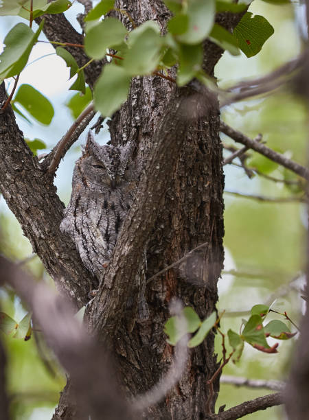 African Scops Owl sitting in a tree stock photo