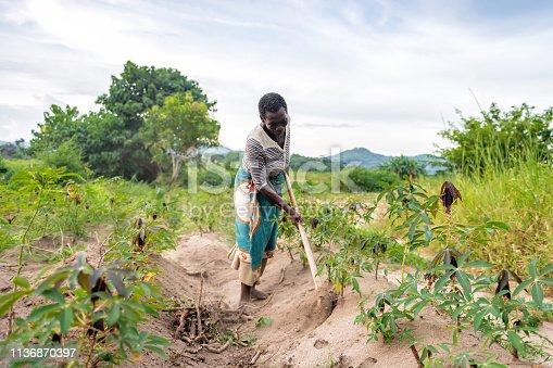 african senior woman picking soil on cassava plantation