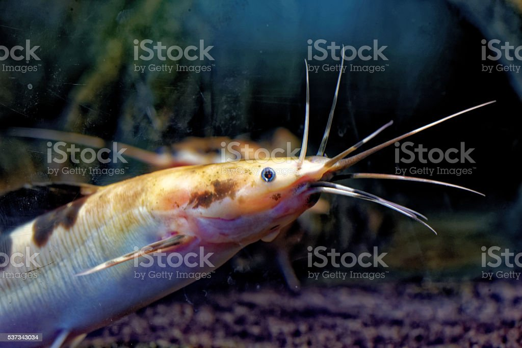 African Sharptooth Catfish Stock Photo & More Pictures of Africa