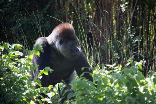 istock African Silver Back Gorilla 639658448