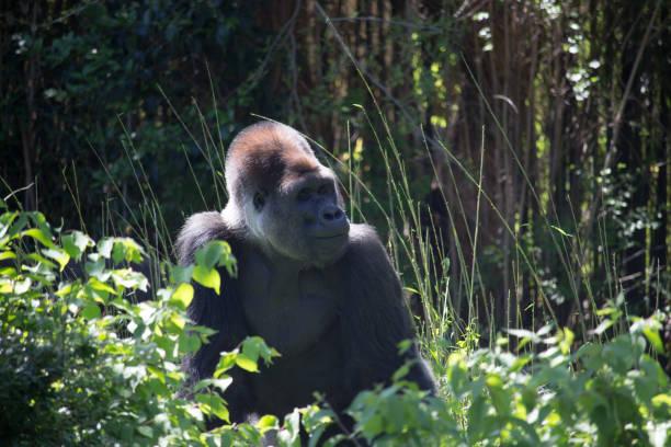 African Silver Back Gorilla stock photo