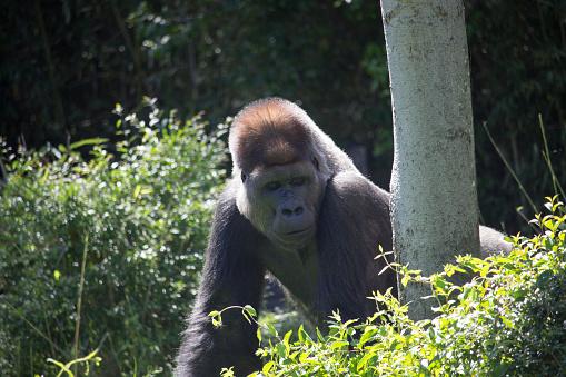 istock African Silver Back Gorilla 639658684