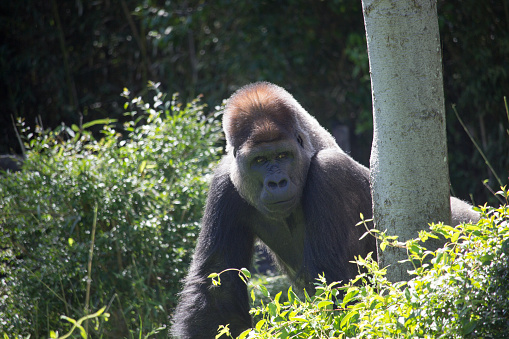 istock African Silver Back Gorilla 639658750