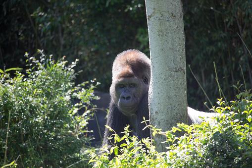 istock African Silver Back Gorilla 639658826