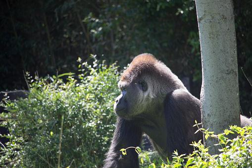 istock African Silver Back Gorilla 639658880