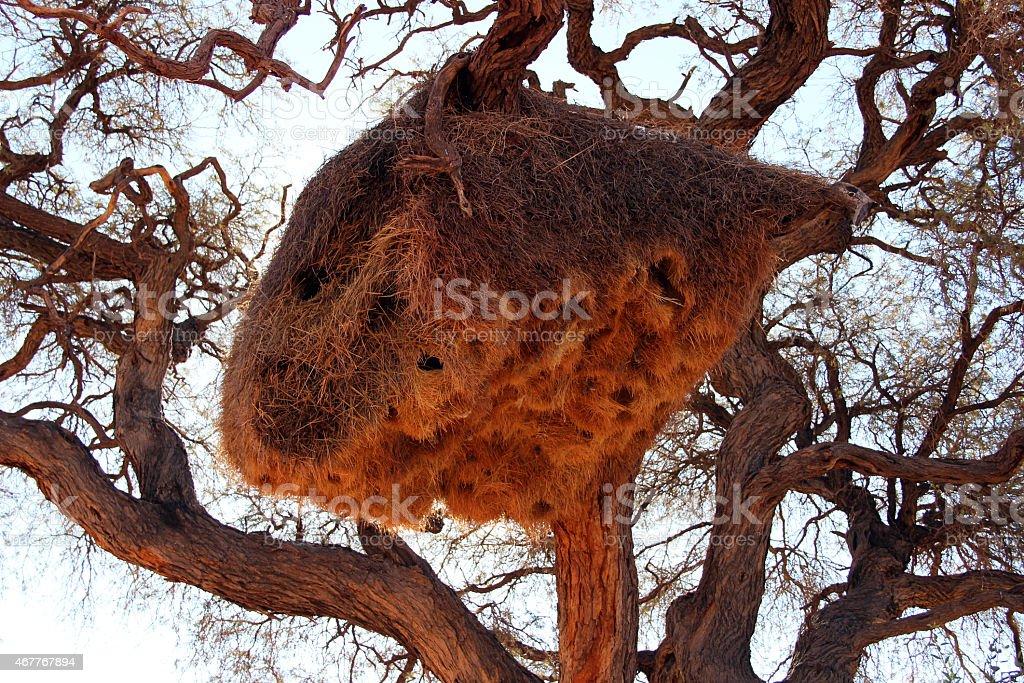 African social weaver nest stock photo