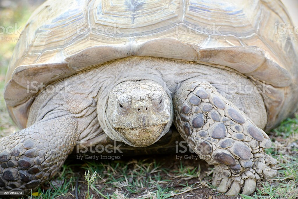 African Spurred Tortoise Centrochelys Sulcata Stock Photo More