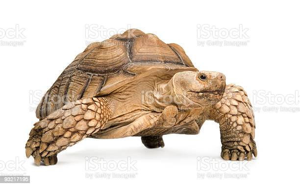 African spurred tortoise in a white background picture id93217195?b=1&k=6&m=93217195&s=612x612&h=vmzdpwtd a59 mfdqoejabvkygkayk50ejm8j pkut0=
