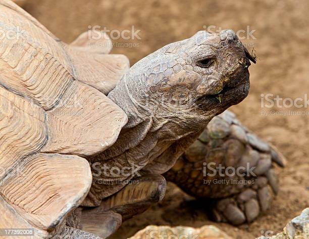 African spurred tortoise picture id177392008?b=1&k=6&m=177392008&s=612x612&h=c5ftroitham1higmcileqsuyuu4ixcxq 2vjpuh6amy=