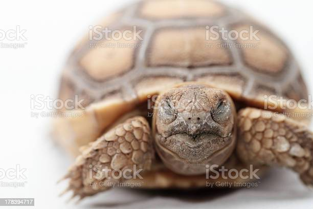 African spurred tortoise picture id178394717?b=1&k=6&m=178394717&s=612x612&h=46eveufivk3nxeivv6w2iqsh crsff6fgzl4doyo ty=