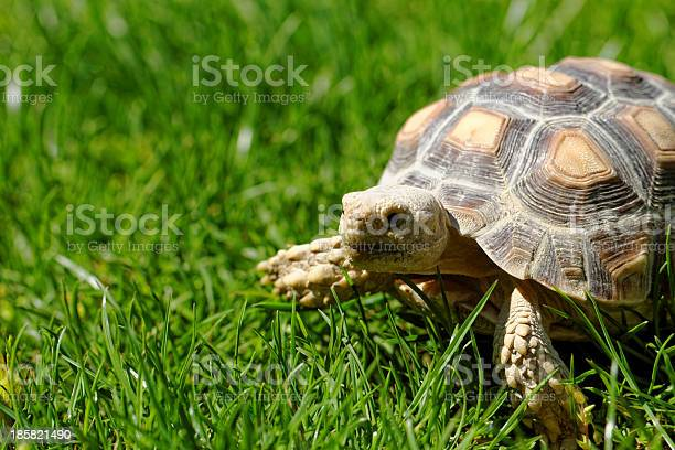 African spurred tortoise picture id185821490?b=1&k=6&m=185821490&s=612x612&h=62h7kkup 38s4htreowabghe6fynewq95hzjlg2cqw4=