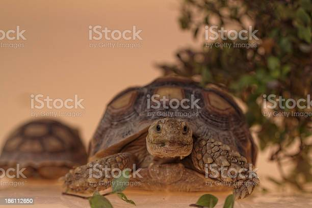 African spurred tortoise picture id186112650?b=1&k=6&m=186112650&s=612x612&h=aty63y0nozkrzy2lixgfnnrla1 gneclpa74lj5wgwc=