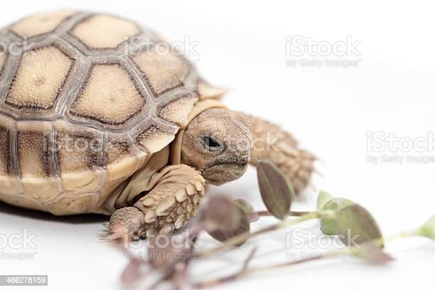 African spurred tortoise picture id466278159?b=1&k=6&m=466278159&s=612x612&h=qckej1rgihvz6a7ltqygkymo7r z5dstjv em8pxdiq=