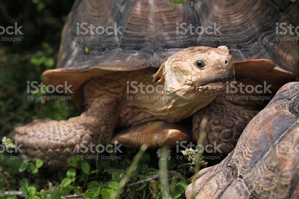 African spurred tortoise (Centrochelys sulcata). stock photo