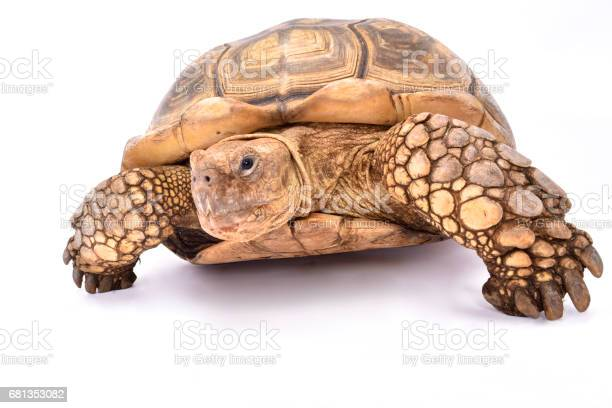 African spurred tortoise picture id681353082?b=1&k=6&m=681353082&s=612x612&h=k4uwtmtp8mu2hrbzhadfzdptgdgnolrn 6fb6r0wfky=