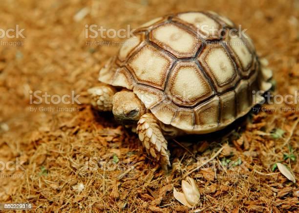 African spurred tortoise picture id880229316?b=1&k=6&m=880229316&s=612x612&h=2 r95np6l6n5nrdsop8rnj39oeboovxtnwieyzeeq5a=