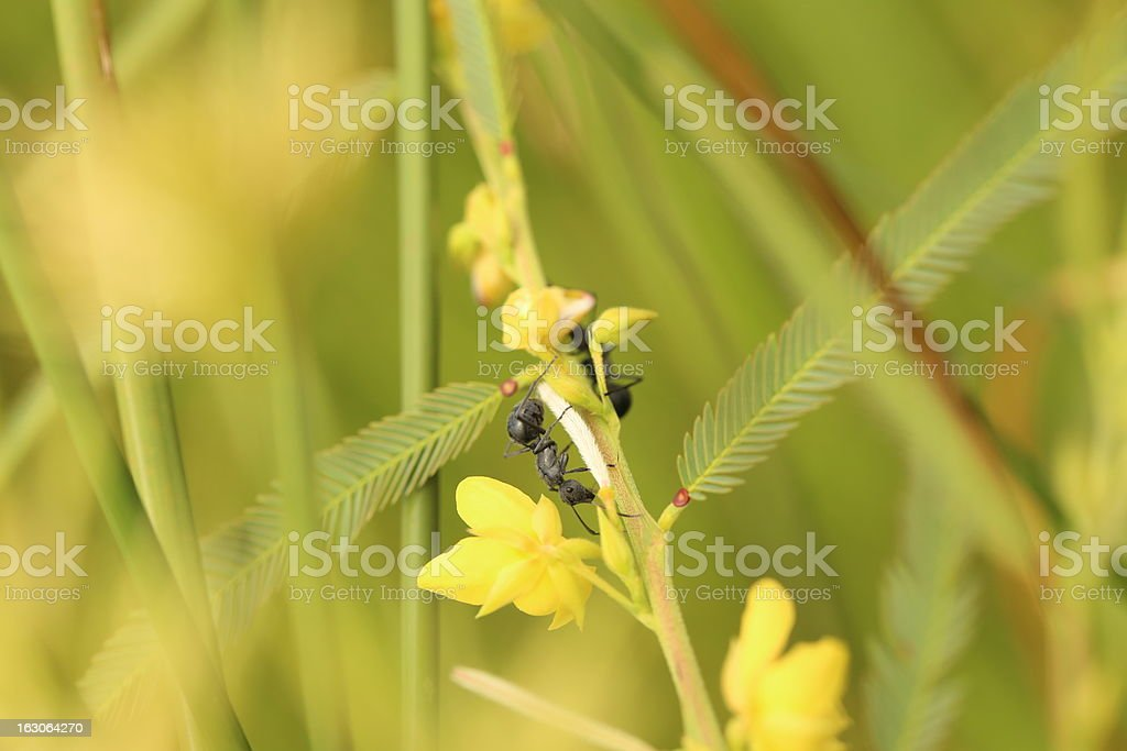 African stink Ant royalty-free stock photo