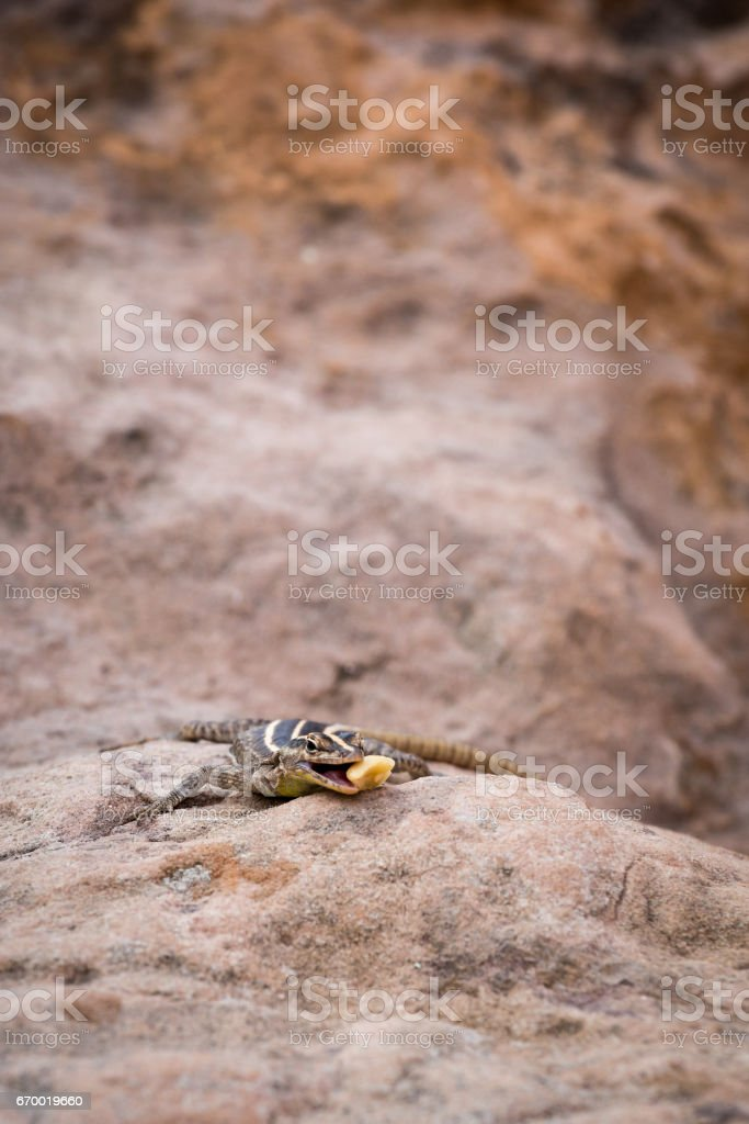 African Striped Skink (Trachylepsis striata) on Stone, South Africa stock photo