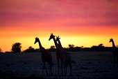 Vibrant sky as the sun goes down with giraffes silhouetted against the sky