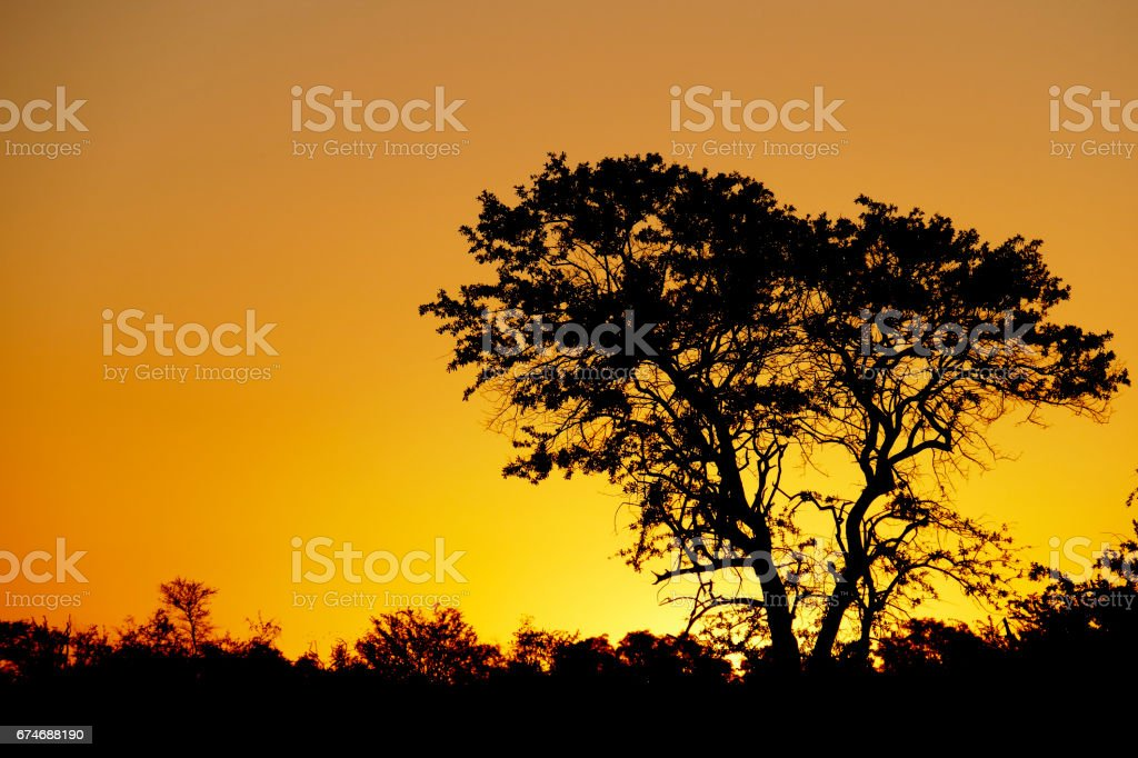 African sunset with silhouette of a marula tree in the Madikwe Game Reserve in South Africa stock photo