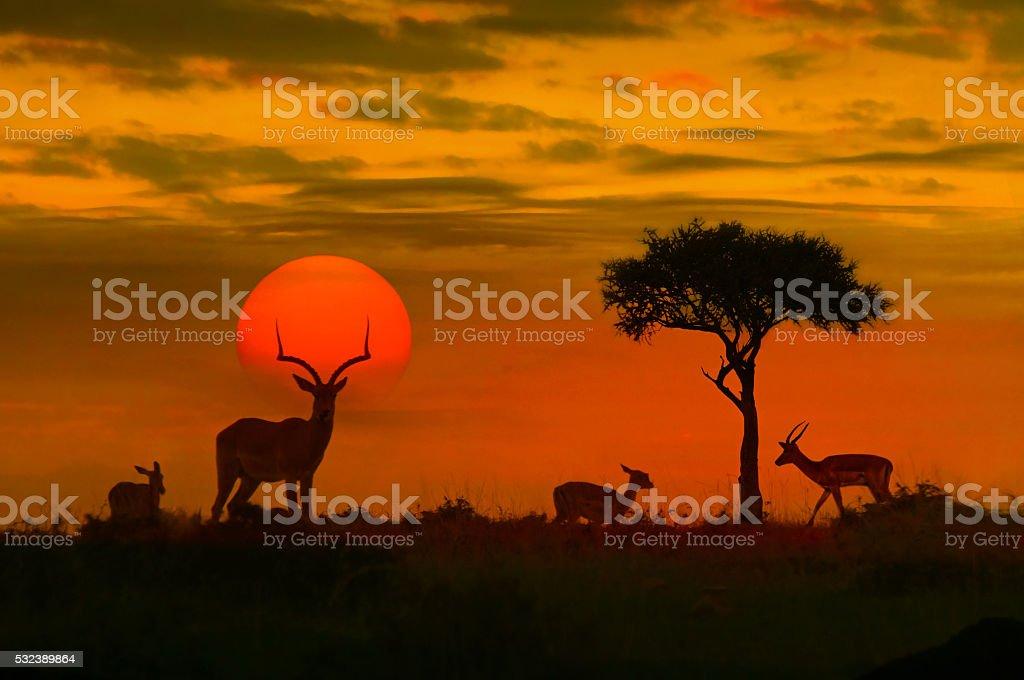 African sunset with silhouette - 免版稅側影圖庫照片
