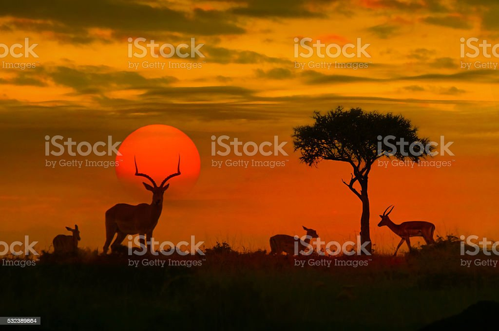 African sunset with silhouette stock photo