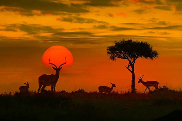 african sunset with silhouette - wildlife stock photos and pictures