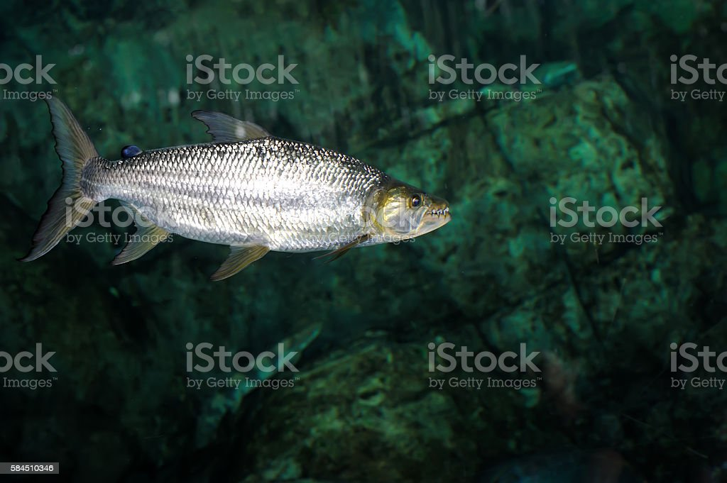 African tiger fish stock photo