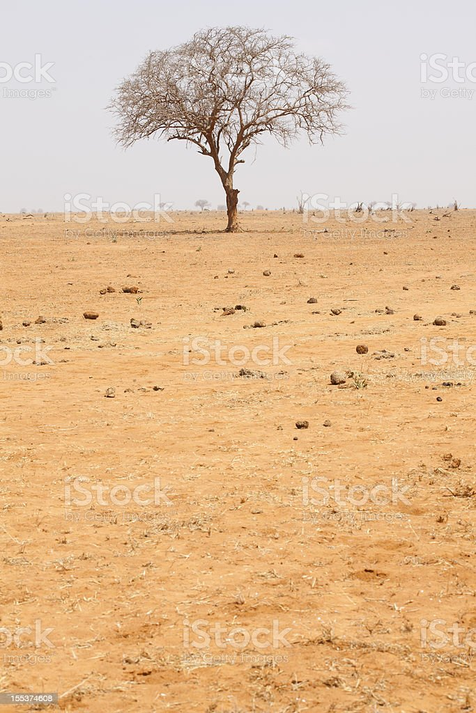 African Tree at Desert royalty-free stock photo