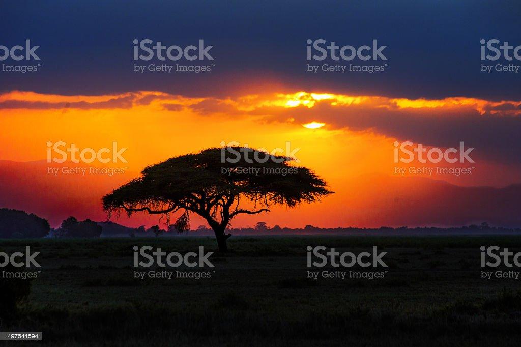 African tree silhouette on sunset in savannah stock photo