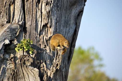African Tree Squirrel