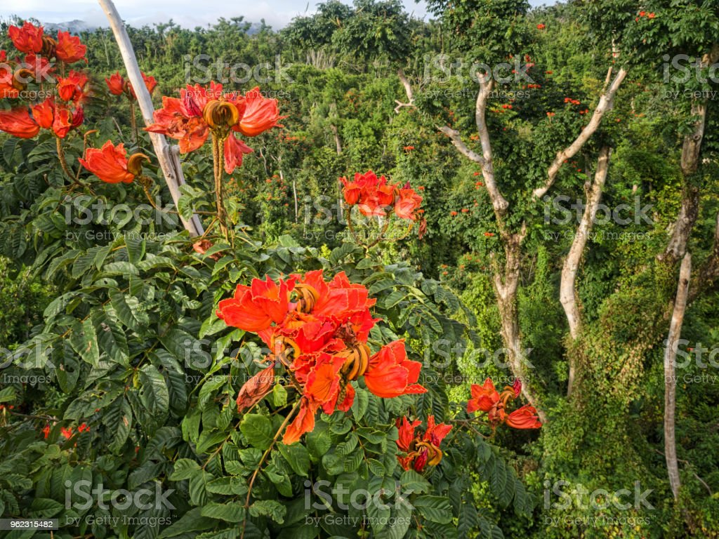 African Tulip Tree In Bloom Dominica Stock Photo More Pictures Of