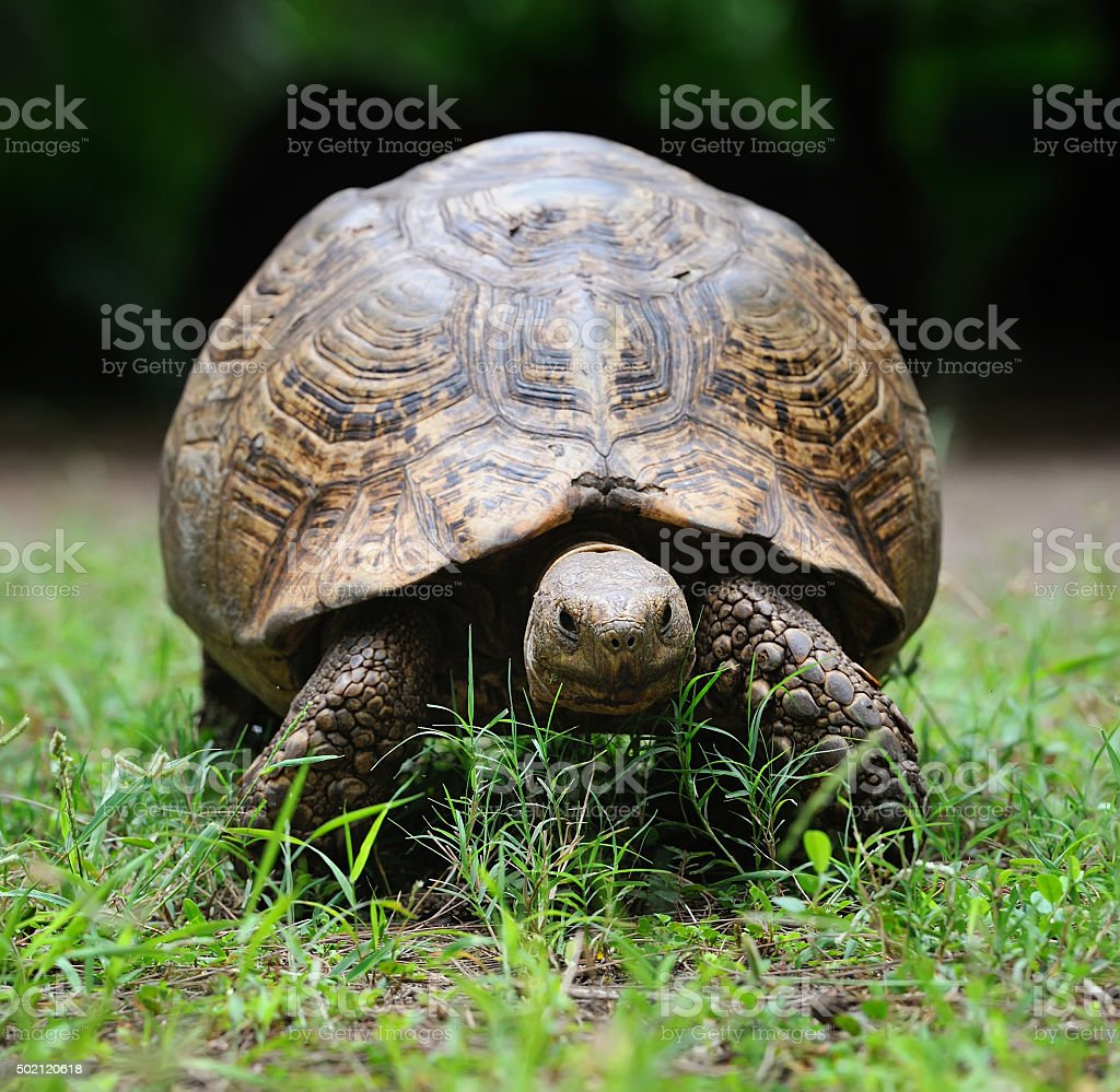 African turtle in grass stock photo
