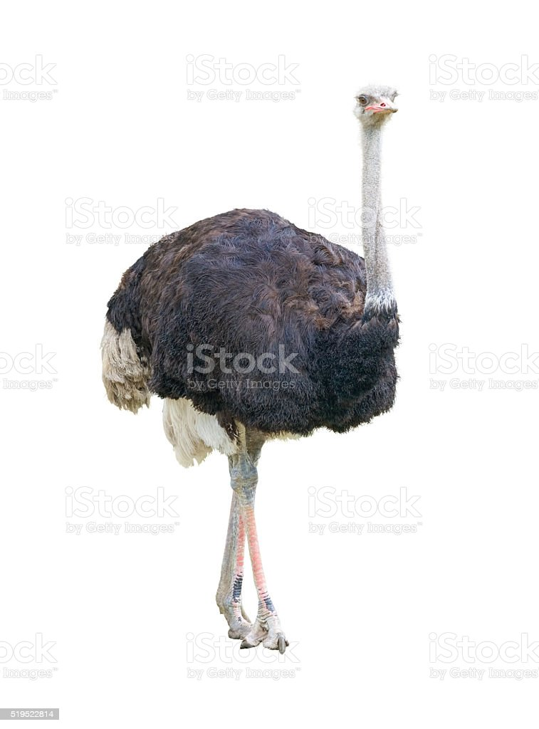 African two-toed ostrich cutout stock photo