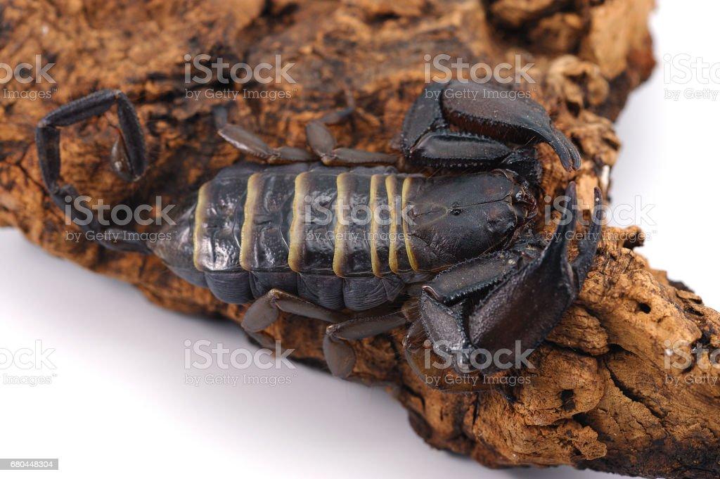 African venom Scorpion isolated on white background stock photo