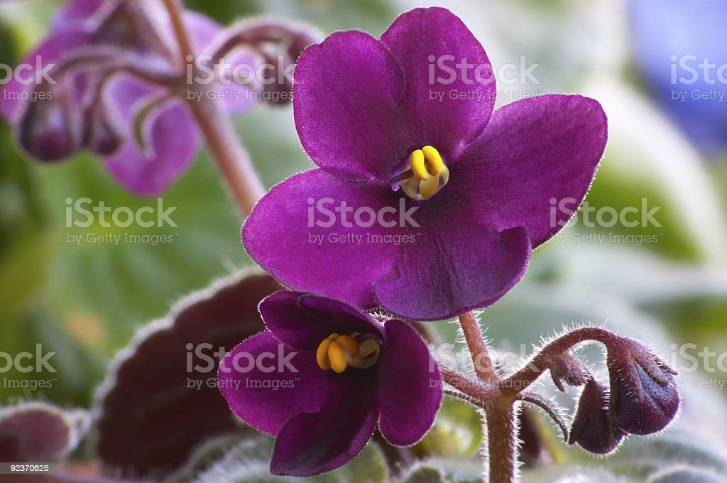 African viole #3 royalty-free stock photo