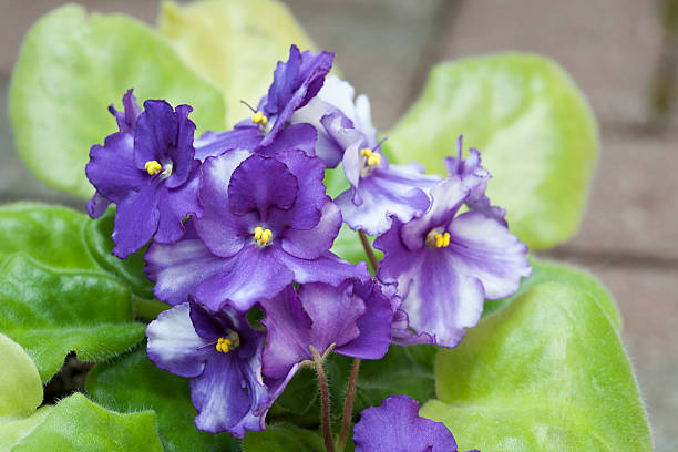 African Violet Blooms stock photo