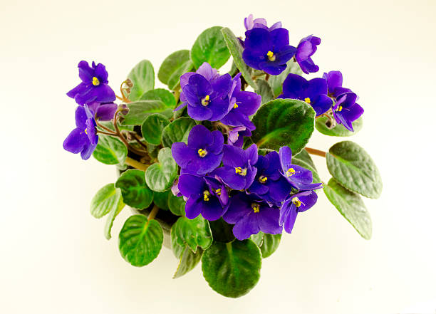 african violet flower and green leaves in pot stock photo