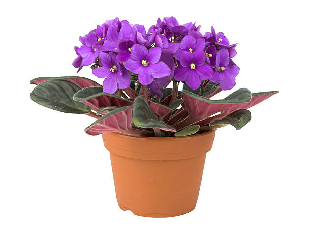 African Violet Flower In Pot stock photo