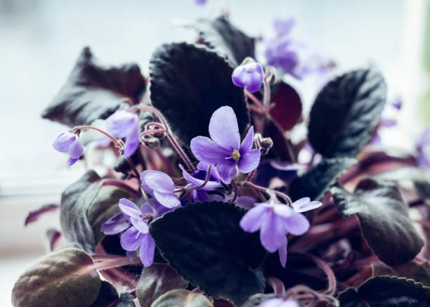 African Violet flowers of saintpaulia stock photo