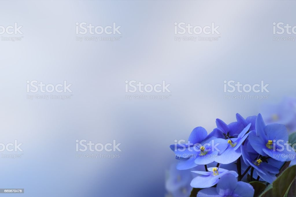 African Violet flowers on a flat background space for text stock photo
