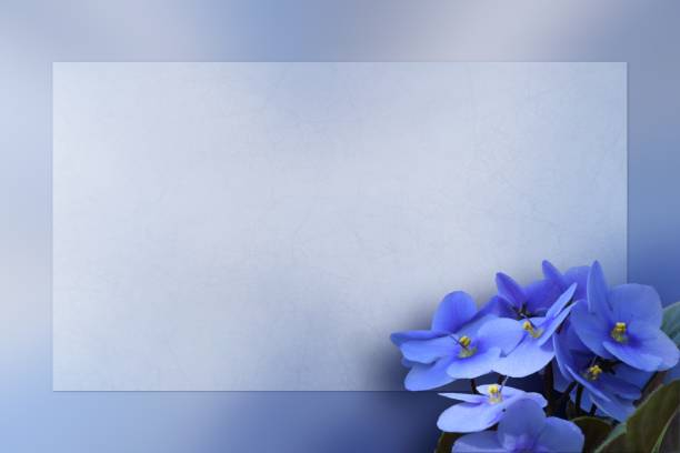 African Violet flowers on a flat framed background space for text stock photo