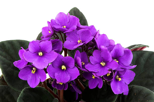 African Violet Flowers stock photo