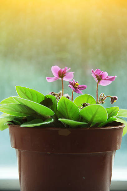 African Violet is a kind of healthy vegetable. stock photo