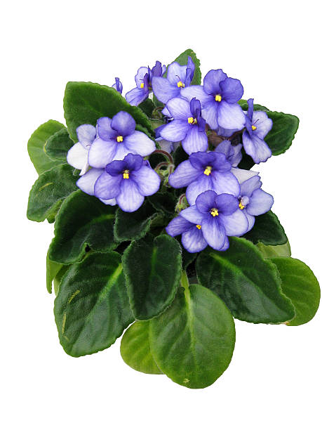 African Violet Isolated stock photo