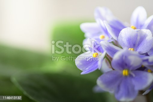 Close up of African Violet flowers