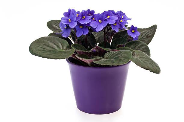 African Violet (Saintpaulia, Sępolia) stock photo