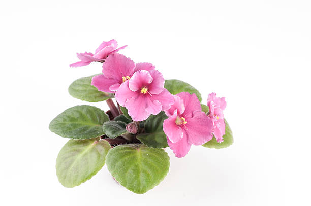 African violet plants over white background stock photo