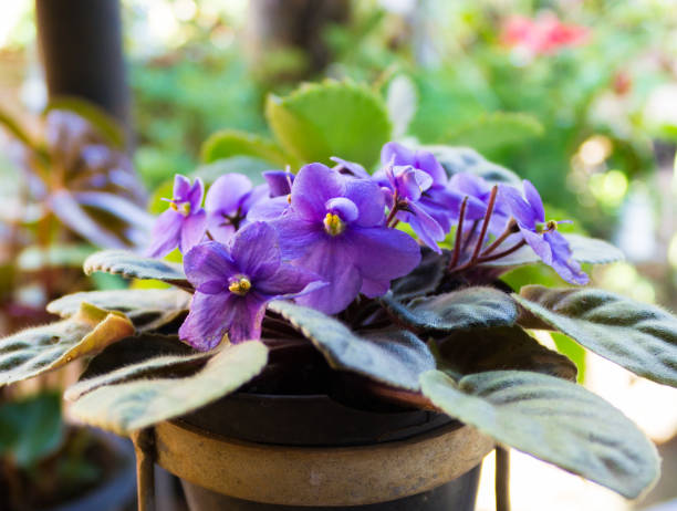 African violets (Saintpaulia), closeup of this beautifully colored purple flower. stock photo